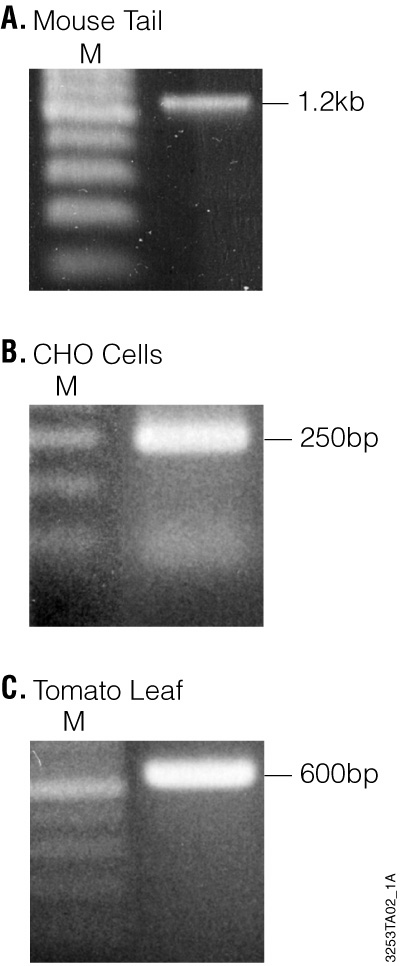 Agarose gel electrophoresis of PCR products amplified from 1µl of mouse tail, CHO cells and tomato leaf sample genomic DNA isolated using the Wizard® SV 96 Genomic DNA Purification System.