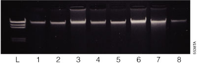 A panel of murine tissues purified using the Maxwell® 16 Tissue DNA Purification Kit on the Maxwell® 16 Instrument.