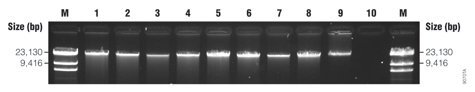 Agarose gel electrophoresis results from fresh and frozen blood samples.