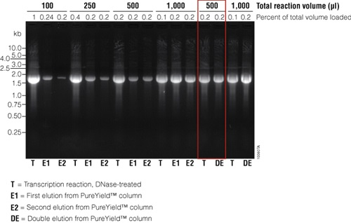 Analysis of in vitro transcribed RNA purified using PureYield™ RNA Midiprep System.
